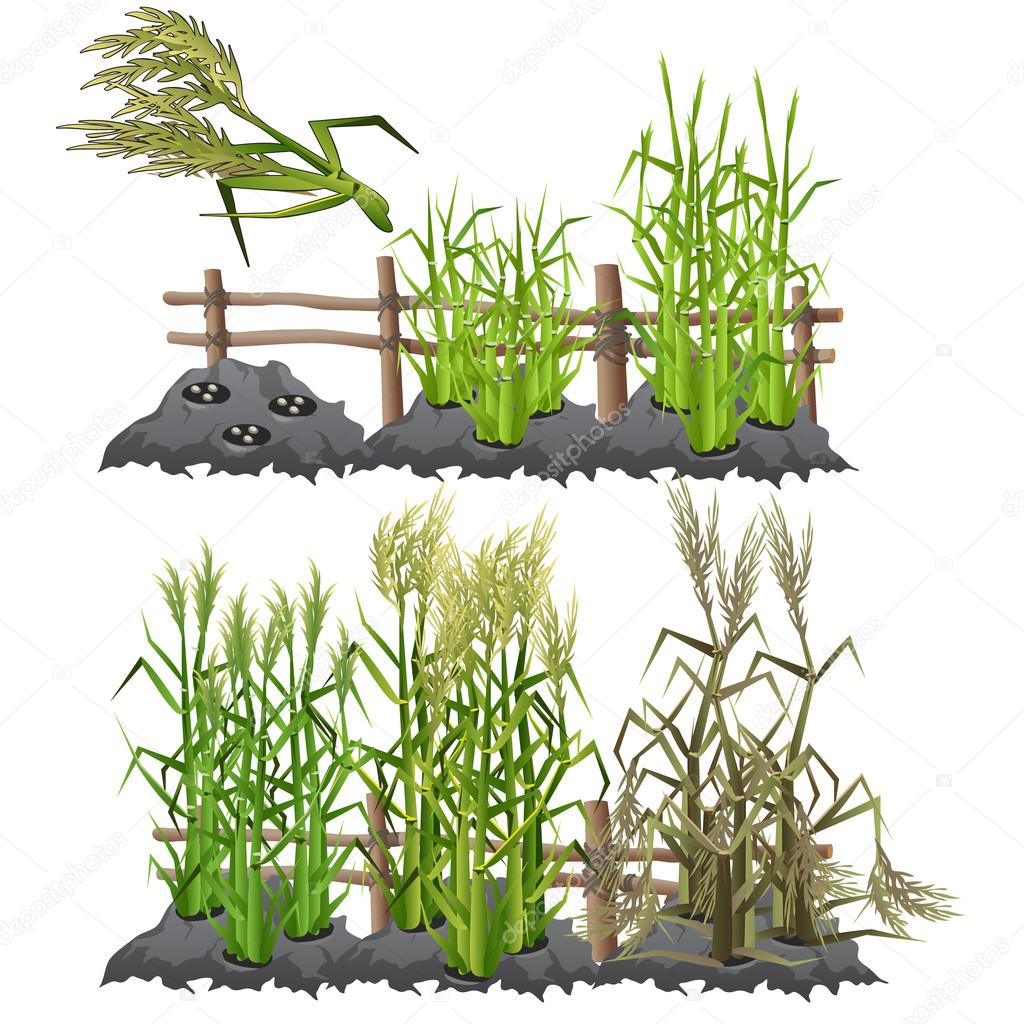 Growth stages of sugarcane, agriculture, vector