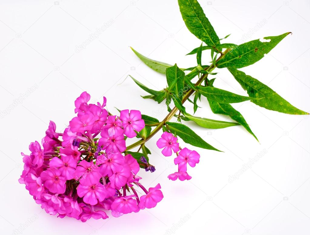 Bright Beautiful Flowers Phlox Stock Photo Artcookstudio 120278430