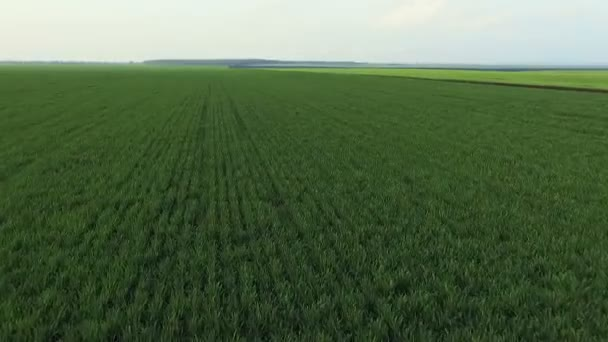 Aerial view of winter wheat, zooming