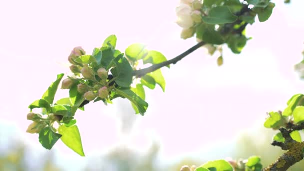 Close-up apple tree twig with bloom. 4k