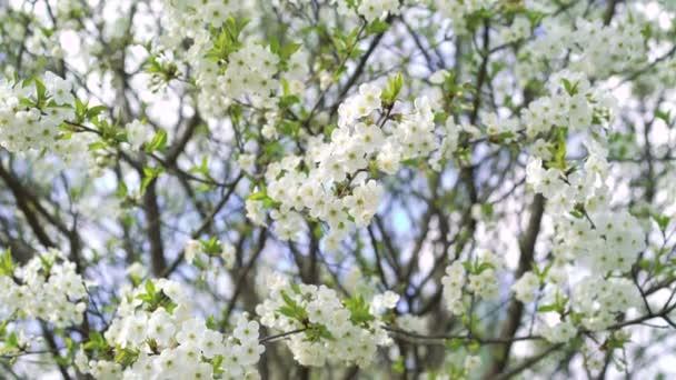 Jarní třešňový strom s květy. 4k