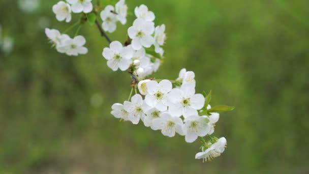 Krásné třešňové větvičky s barevnými květy na zeleném pozadí. 4k
