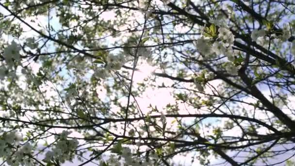Spring big cherry-tree in 4k