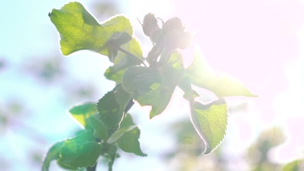 Cherry twig with leaves on sun background