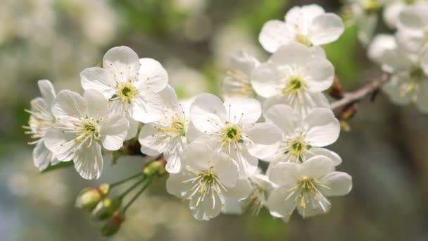 Krásné třešňové větvičky s barevnými květy