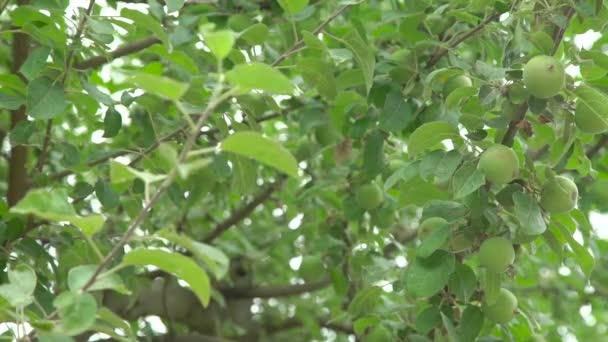 Apple tree with small green fruit