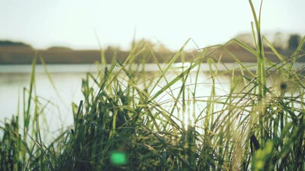 Look of the evening pond through green grass. 4K