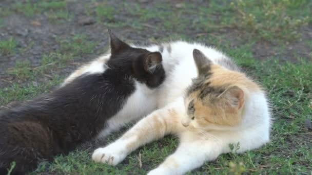 Kitten sucking mothers milk
