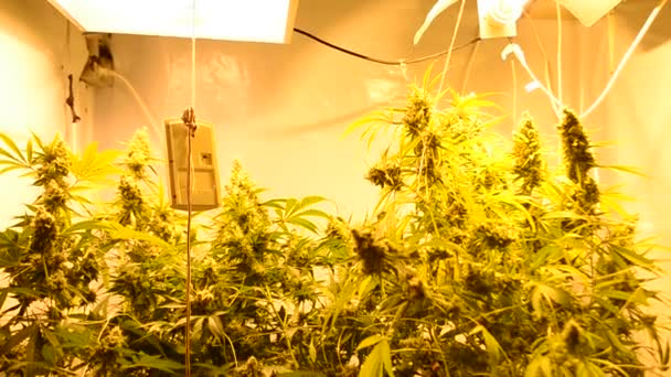 Marijuana grow in room