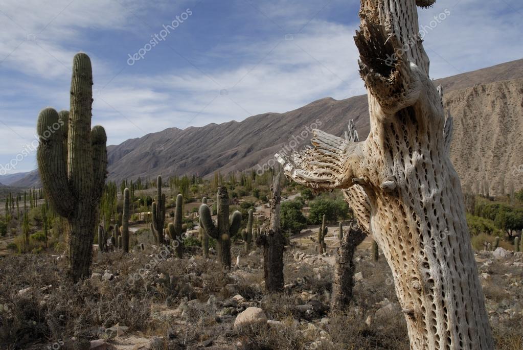 Cardon Grande Cactuses