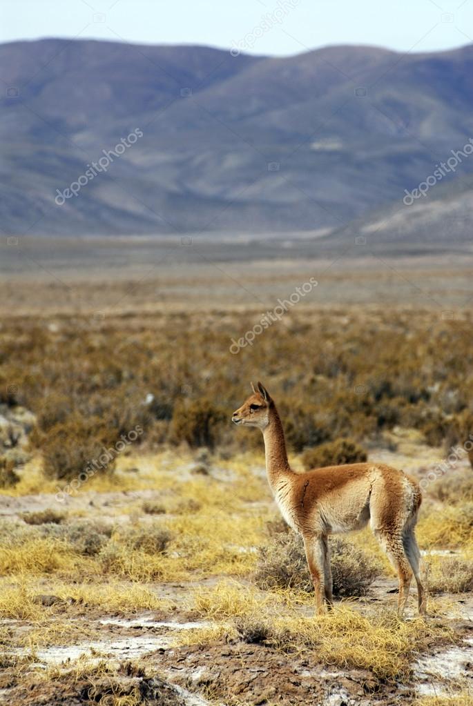 lama on mountains background