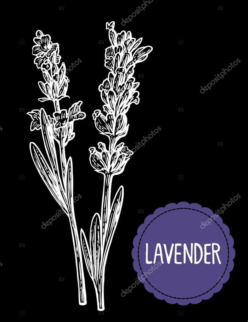 Lavender Flowers Sketch Hand Drawn Engraving Vintage Illustration Black And White Color