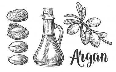 Set of argan branches, leaves, nuts. For packing oil creams. Vector vintage engraved illustration isolated on white background.