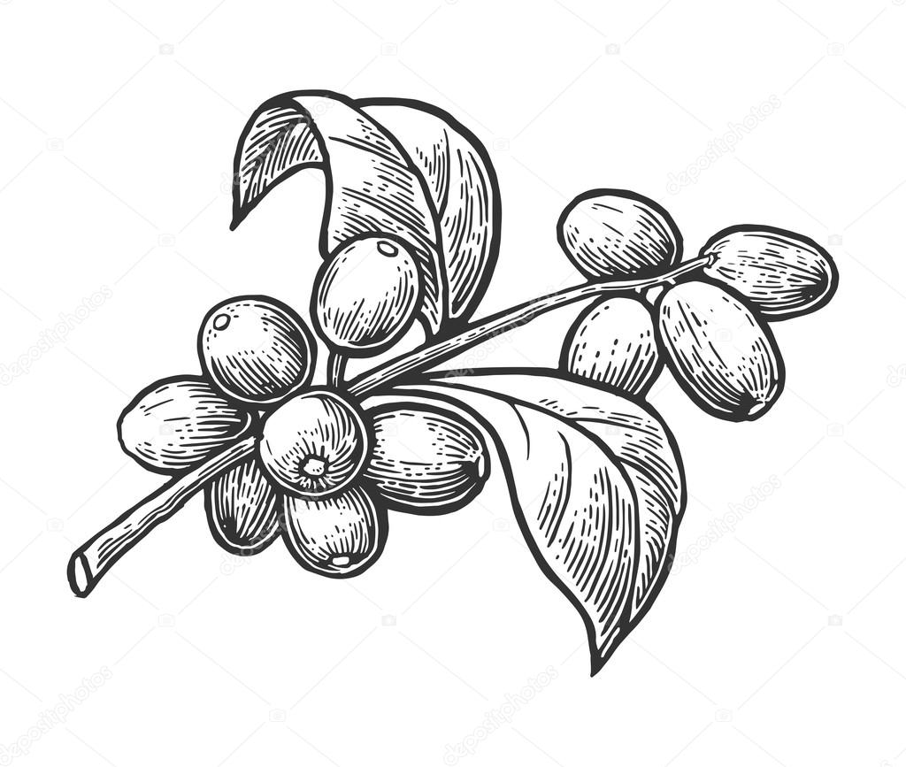 Coffee branch with leaf and berry. Hand drawn vector vintage engraving illustration  on white background