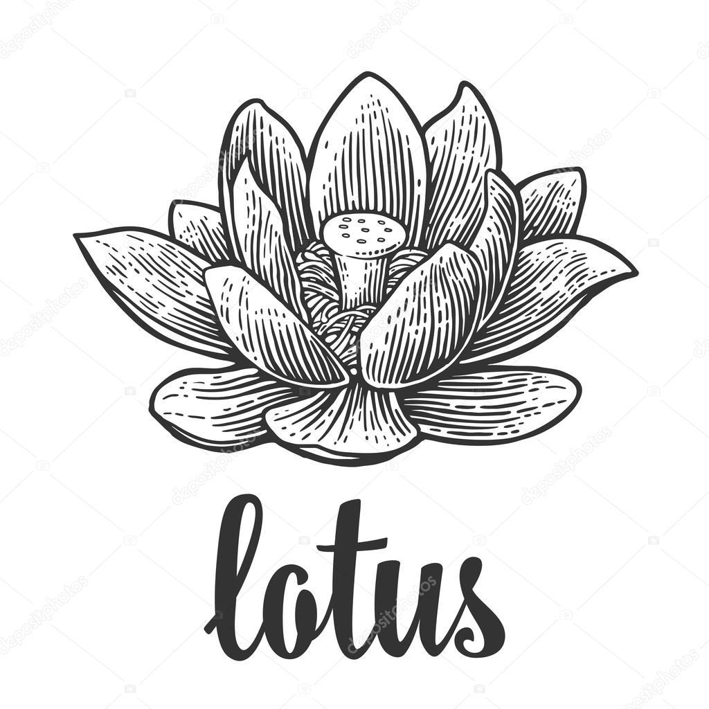 lotus flower vector black engraving vintage illustration on white background stock vector. Black Bedroom Furniture Sets. Home Design Ideas
