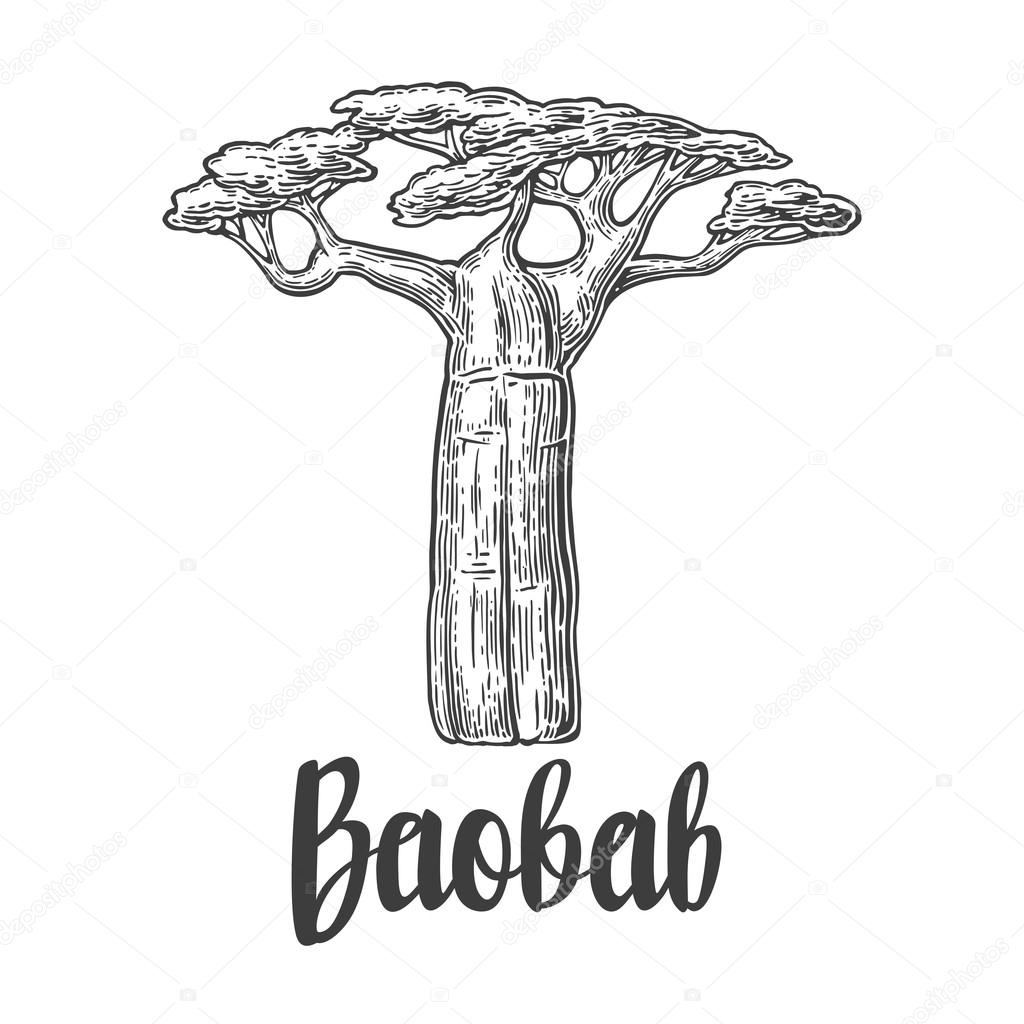 Baobab tree vector vintage engraved illustration on white baobab tree vector vintage engraved illustration on white background hand drawn sketch vector by denispotysiev thecheapjerseys Gallery