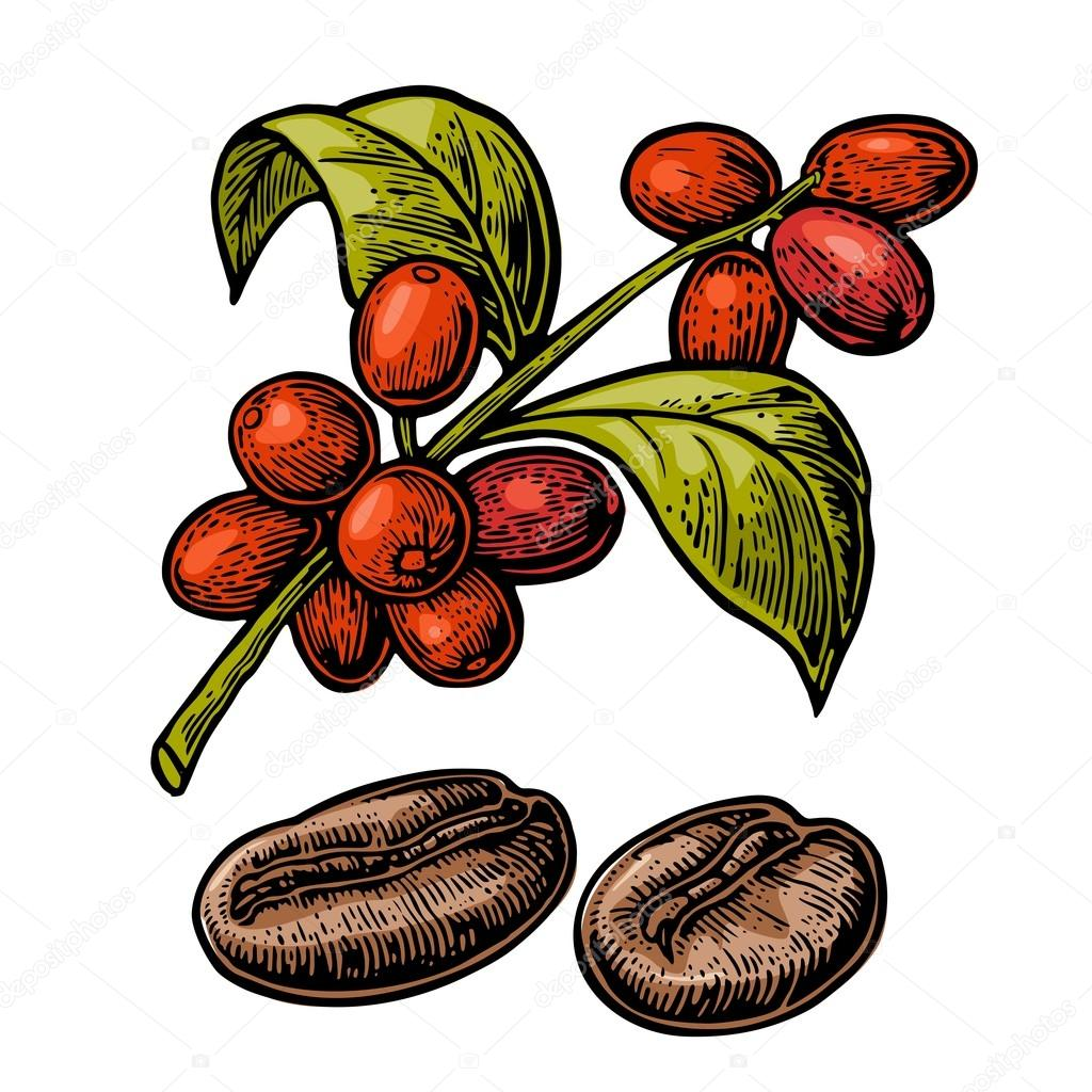 Coffee bean, branch with leaf and berry.