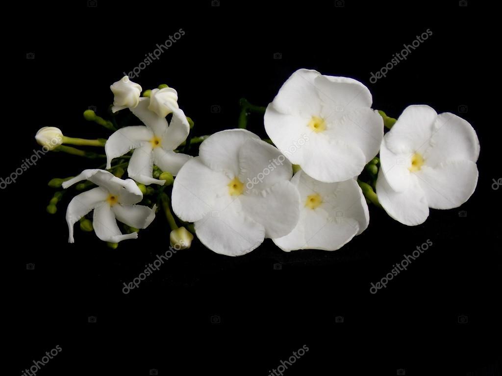 Beautiful White Gardenia Flower On Black Background Stock Photo