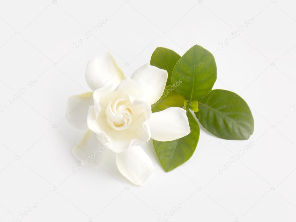 Beautiful White Gardenia Flower On White Background Stock Photo