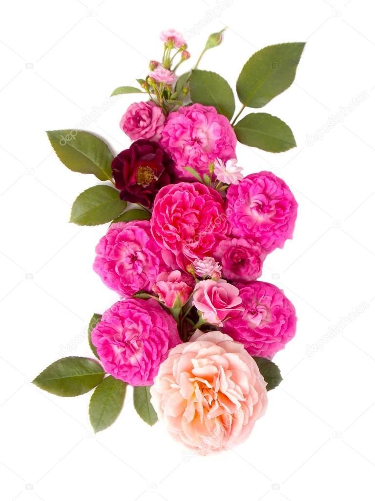 Beautiful English Rose Flower On White Background Stock Photo