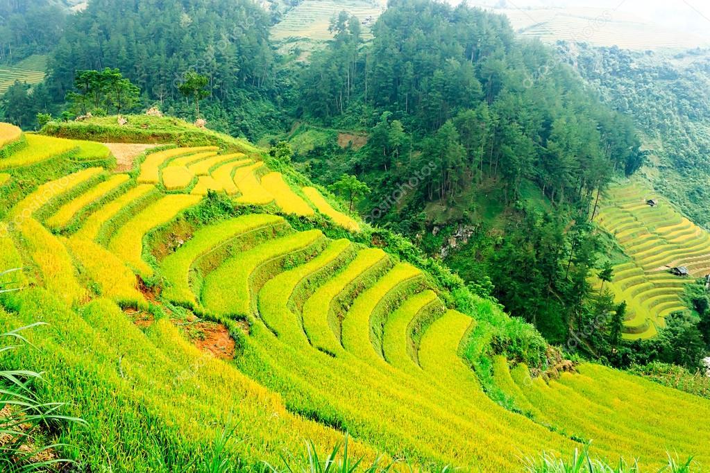 Rice fields on terraced of Mu Cang Chai, YenBai, Vietnam. Rice fields prepare the harvest at Northwest Vietnam.Vietnam landscapes.