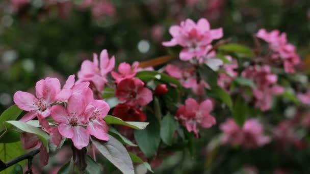 Květy růžové květy na větvích a třešeň