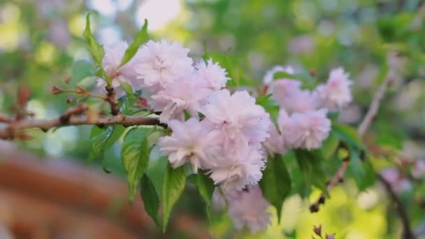 Pink Cherry Flowers Blooming In Springtime Swining In The Wind