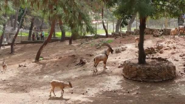 Mountain goats walks on the farm