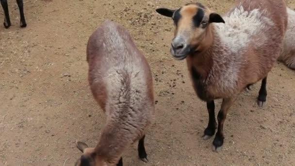 Sheep and lambs walking. sheep farm. Close up.
