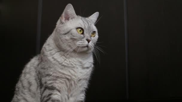 Hravý šedé skotský kočka, close-up
