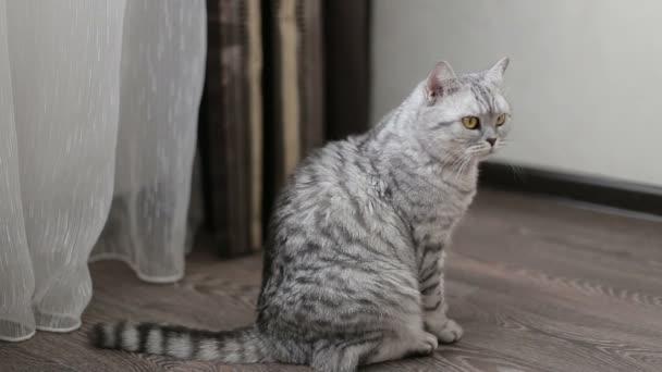 Playful gray scottish cat, close-up