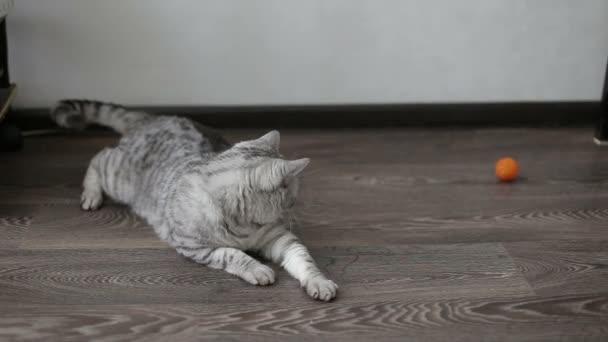Verspielte graue schottische Katze zu Hause. Nahaufnahme.