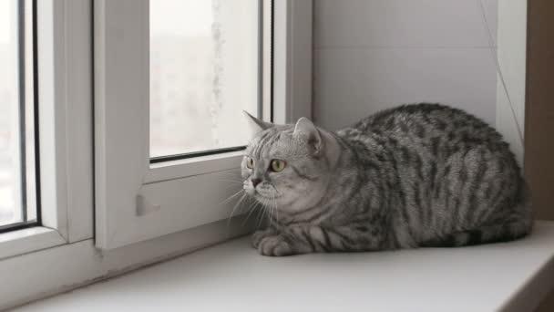 Schottische Katze zu Hause. Close-up.