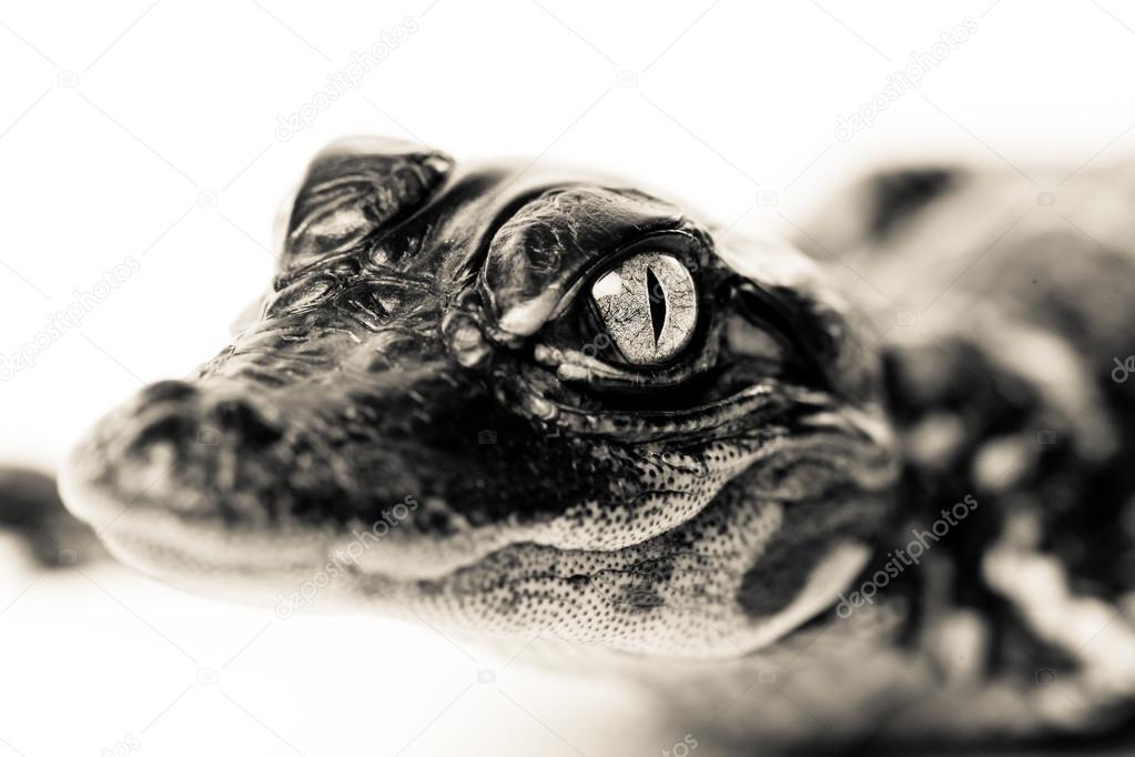 Cute Baby Alligator Stock Photo C Jasonlavelle 94283948