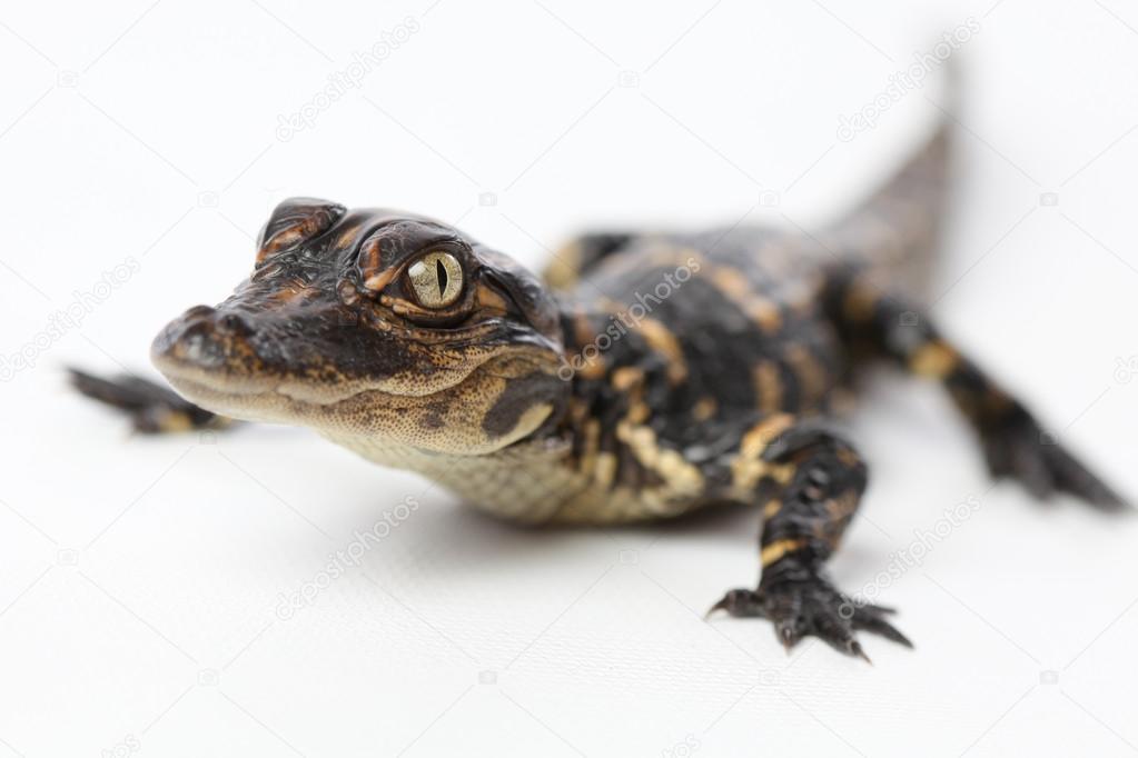 Cute Baby Alligator Stock Photo C Jasonlavelle 94283954