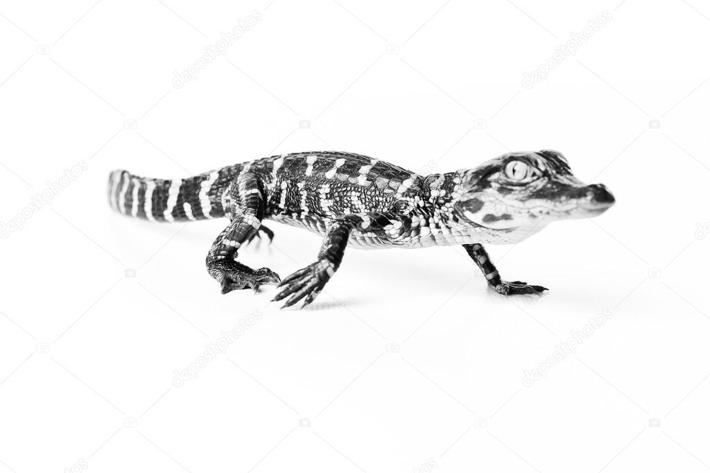 Cute Baby Alligator Stock Photo C Jasonlavelle 94283976
