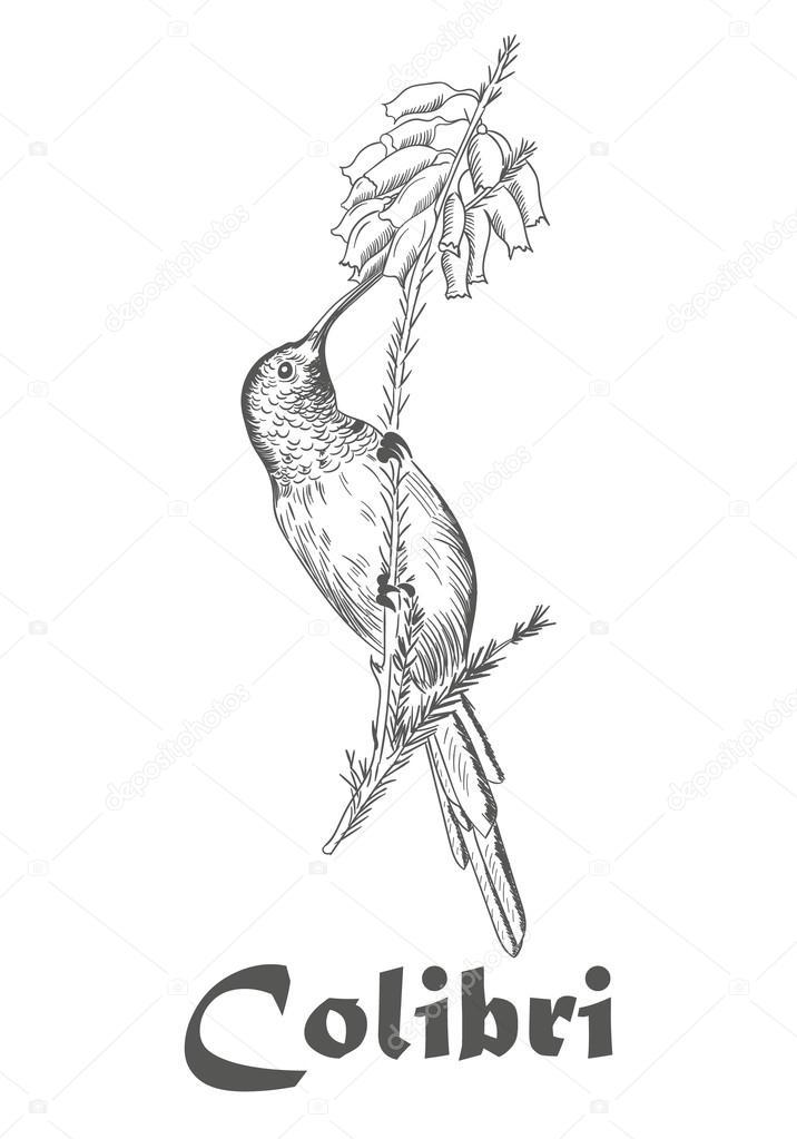 Imágenes: un colibri en una flor para colorear | Colibrí y la flor ...