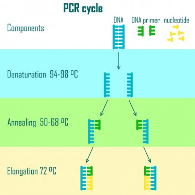pcr cycle stages