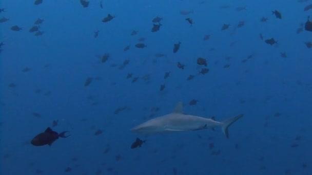 Tolles Tauchen mit Riffhaien an der blauen Ecke.