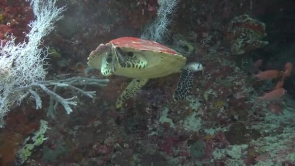 A fascinating dive with sea turtles Hawksbill. Turtle claps.
