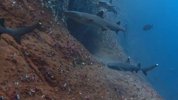 Fantasztikus merülés cápákkal ki Roca Partida sziget.