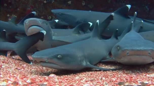 Traumhafter Tauchgang mit Haien vor der Insel Roca Partida.