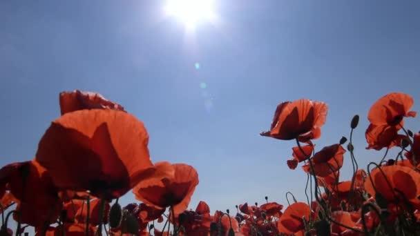 Kvetoucí makové pole poblíž Krasnodar. Rusko
