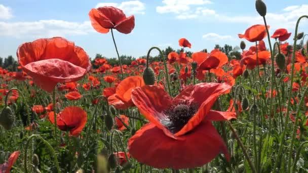 Barevný kvetoucí maková pole v oblasti Krasnodaru. Rusko.