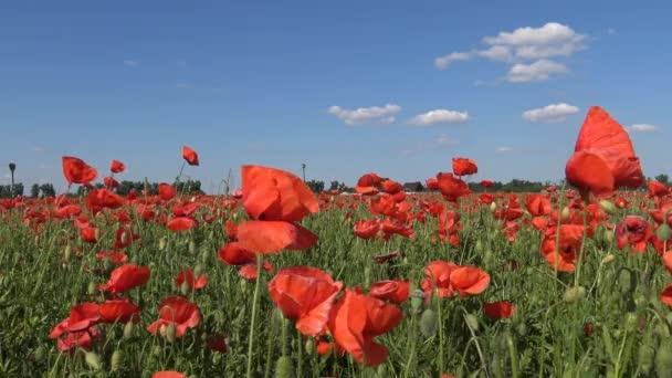 Barevný kvetoucí maková pole v oblasti Krasnodaru. Rusko