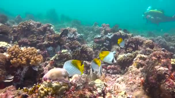 Schmetterlingsfische. Spannender Tauchgang vor Mafia Island. Tansania. Afrika.