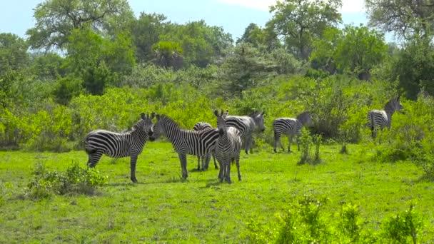 Zebrák. Izgalmas szafari kirándulás a Selous Nemzeti Parkon keresztül. Tanzánia. Afrika.