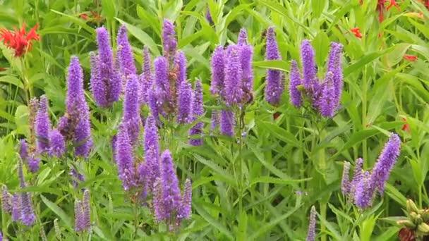 Purple Veronica flowers in the garden
