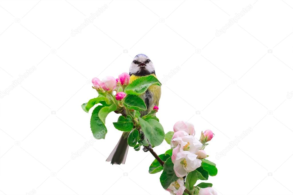 The Bird Sings The Song Sitting On Blossoming Apple Tree Branch In Spring  Garden U2014 Stock