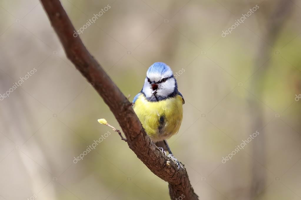 Bird Blue Tit Sings The Song In The Spring On A Branch Of Blossoming Pussy  Willow Fluffy U2014 Photo By Nataba16 Good Looking